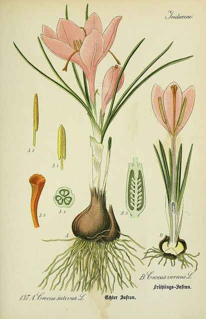 crocus botanical print #botanicalillustration #botanicalprint #crocus #scientificillustration