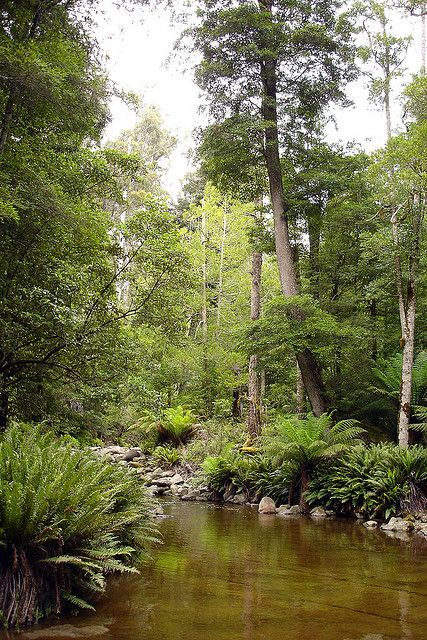Rainforest ~ Tasmania
