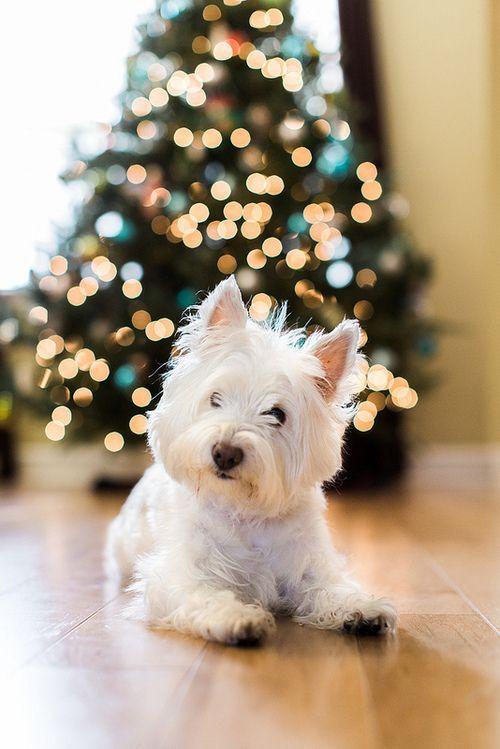 Merry Christmas Westie! Santa---please bring me a little cesear dog!