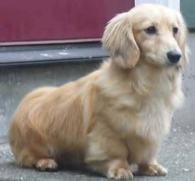 Dackel golden retriever mix
