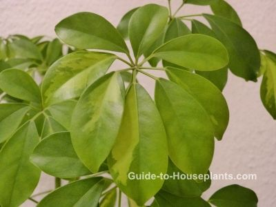 Schefflera plant is a common house plant that also goes by the name umbrella tree. Get tips for pruning schefflera, plant care and profile.