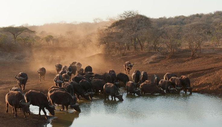 Kafferbuffels