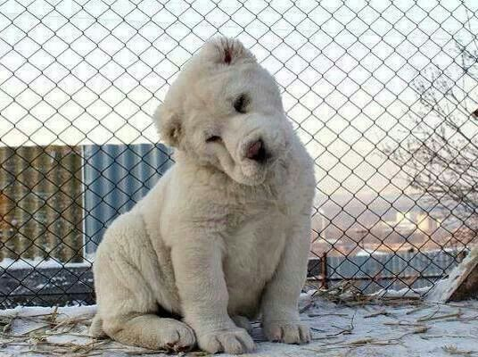 Central Asian shepherd... looks like a white lion cub to me. Too cute!