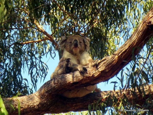 Raymond Island - the best place in the world to see koalas - http://www.thetravellinglindfields.com/2015/03/raymond-island-victoria-best-place-to.html