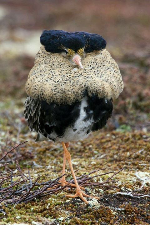This may be the funniest looking bird I have ever seen! He looks like he has on a fur jacket and a flat hat. And look at those million dollar legs! LOL!