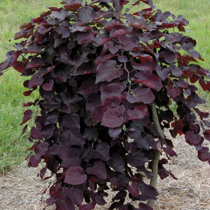 Cercis canadensis 'Ruby Falls' PPAF: A Purple-leafed Weeping Dwarf Redbud!  Brilliant spring blooms and heart-shaped foliage that won't green out.    Compact at 6 to 8 feet, it's ideal for small-space gardens and accents.  Bloom Season	Early Spring - Late Spring  Habit	Weeping  Zone	6 - 8  Plant Height	6 ft - 8 ft  Plant Width	4 ft - 6 ft.  Light Requirements	Full Sun, Part Shade  Moisture Requirements	Moist,  well-drained