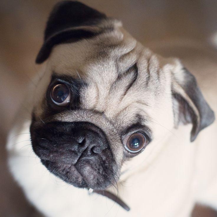 Henry :)   #pug #mops