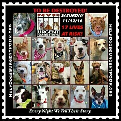 THE NYC ACC KILL LIST FOR SAT. - 11/12/16.  PLEASE GROUP FOSTER  , EVEN TEMPORARILY!