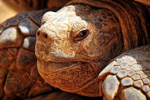 que comen las tortugas mordedoras