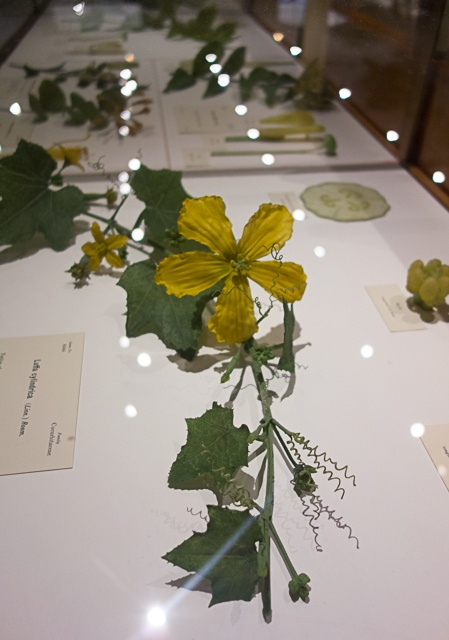 Image result for harvard museum glass flowers