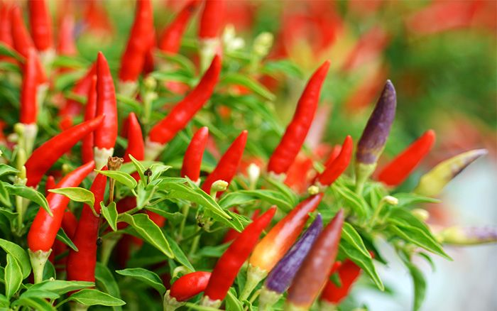 Growing chillies at home is hugely popular, and they can be used in so many recipes! Plus, they are really easy plants to grow.  The easiest way to grow your own chillies is in a pot on a sunny windowsill. Sow them from seed