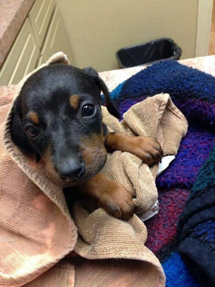 View Ad: Doberman Pinscher Puppy for Sale, Massachusetts ...