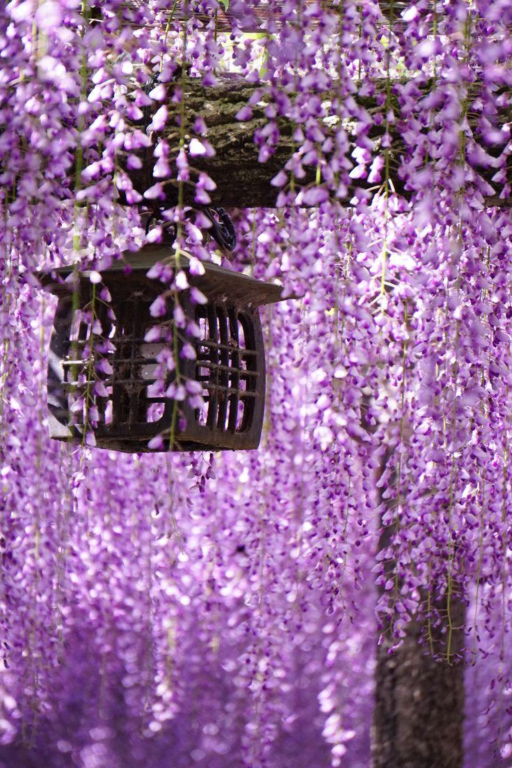 Japanese garden flowers lake garden spring beautiful art - Wisteria Aichi Japan Via Cafe