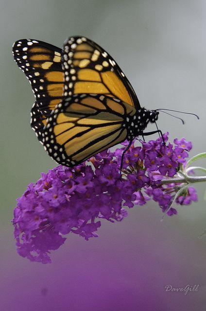 """Monarch Butterfly / """"Há duas formas para viver sua vida: Uma é acreditar que não existe milagres. A outra é acreditar que todas as coisas são um milagres."""" (Albert Einstein)"""