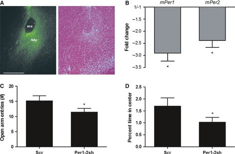 Circadian genes Period 1 and Period 2 in the nucleus accumbens regulate anxiety-related behavior