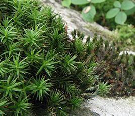 Ploník ( Polytrichum ) v ČR se vyskytuje deset druhů ploníků.  Lodyhy jsou až 50 cm dlouhé.   Tobolka vyrůstá na dlouhém načervenalém štětu