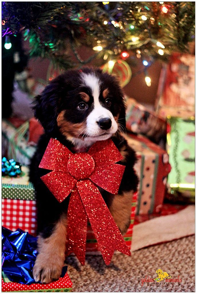 Bernese Mountain Dog With Red Cute Bow Tie
