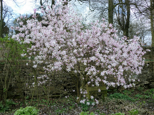 Magnolia stellata; Renishaw Hall