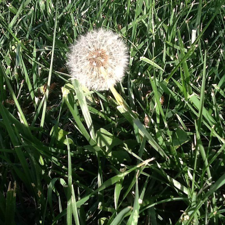 Some see a weed & Some see a wish! #dandelion #mondaymotivation #wish #nature #nofilter
