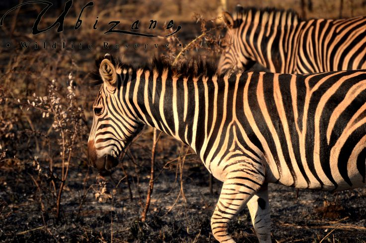 Some Zebras walking on the burned grass of the fire break. With the Fire season in full swing, we have made some preparations to prevent wildfires from our neighboring farms spreading to Ubizane by burning an area around the Reserve.