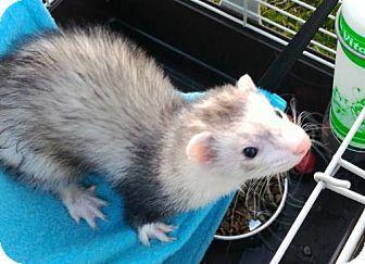 Cleveland, OH - Ferret. Meet Rufus, a pet for adoption. http://www.adoptapet.com/pet/15545237-cleveland-ohio-ferret