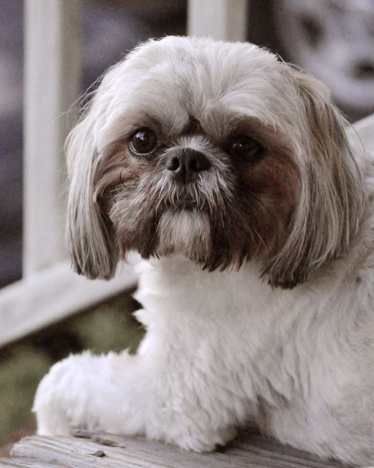 #shihtzu #dogs