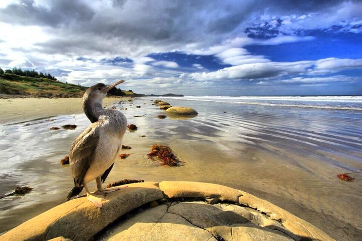 Shag on Moeraka beach, NZ