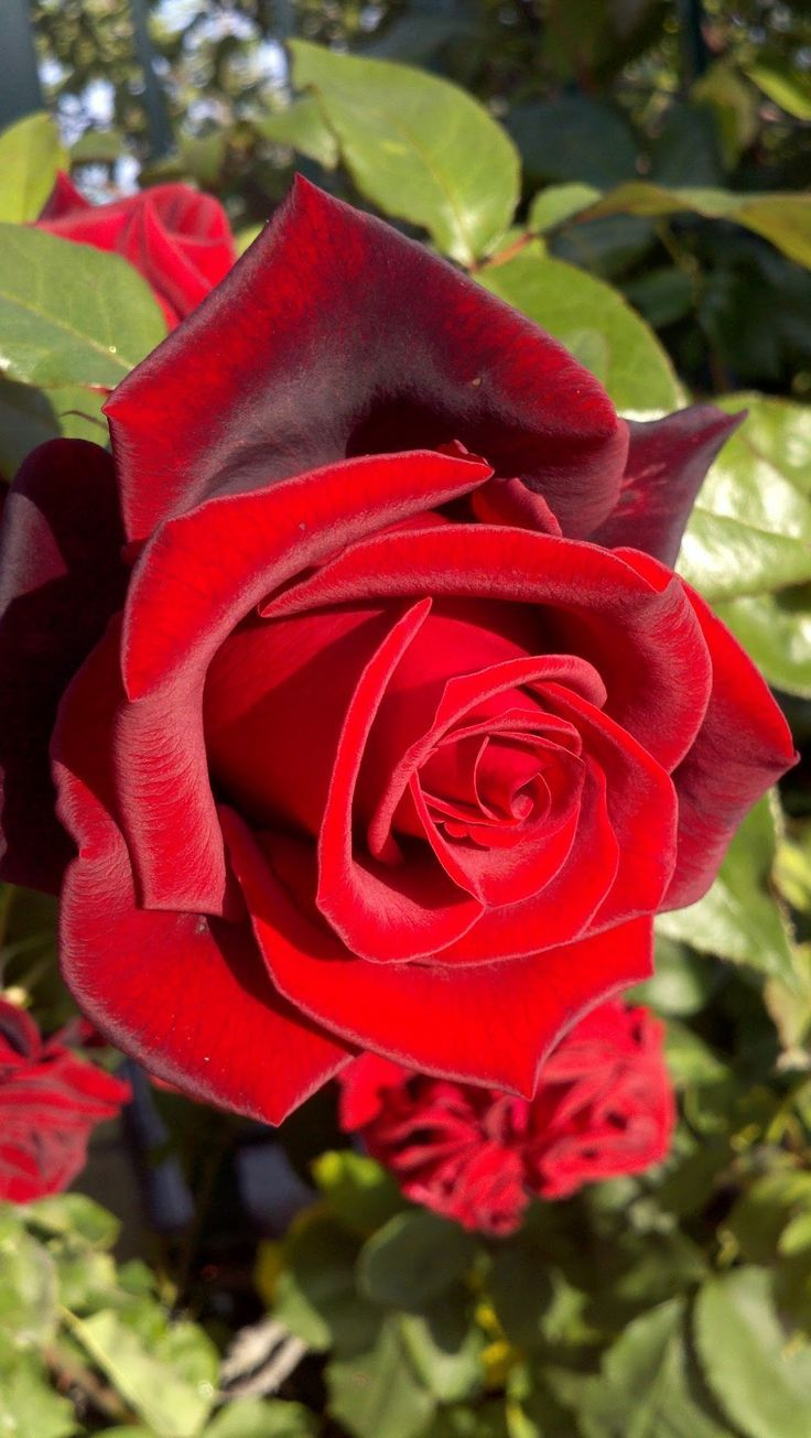Petals like velvet...  'Mister Lincoln' hybrid tea rose.....so beautiful = a classic red rose♥