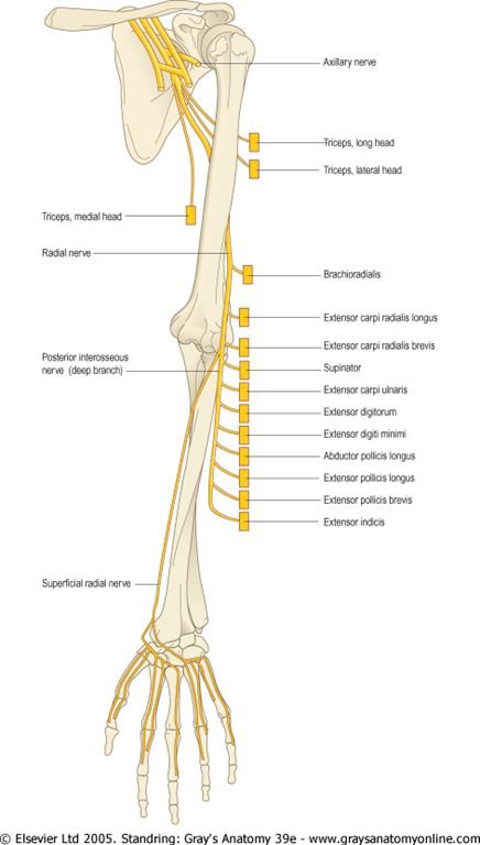 ULNAR NERVE (aka musician nerve) is CHIEF MUSCLE of HAND - RADIAL NERVE is CHIEF MUSCLE of BACK OF FOREARM - MEDIAN NERVE (laborers nerve) is CHIEF MUSCLE of FRONT OF FOREARM. Ring Finger tip is supplied by Median nerve and Ulnar Nerve. Dorsum of middle finger is supplied by radial nerve and ulnar nerve and median nerve.