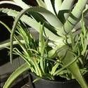 Aloe Vera: How to Grow Indoors -- need to grow in my house. good for so many things!