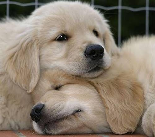 Mignon petit chiens ~ La cute puppies