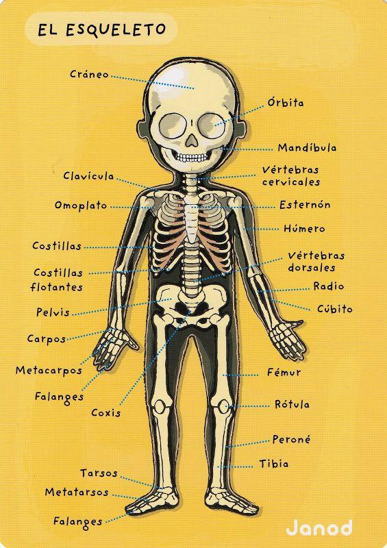 el cuerpo humano - Glòria P - Picasa Web Albums