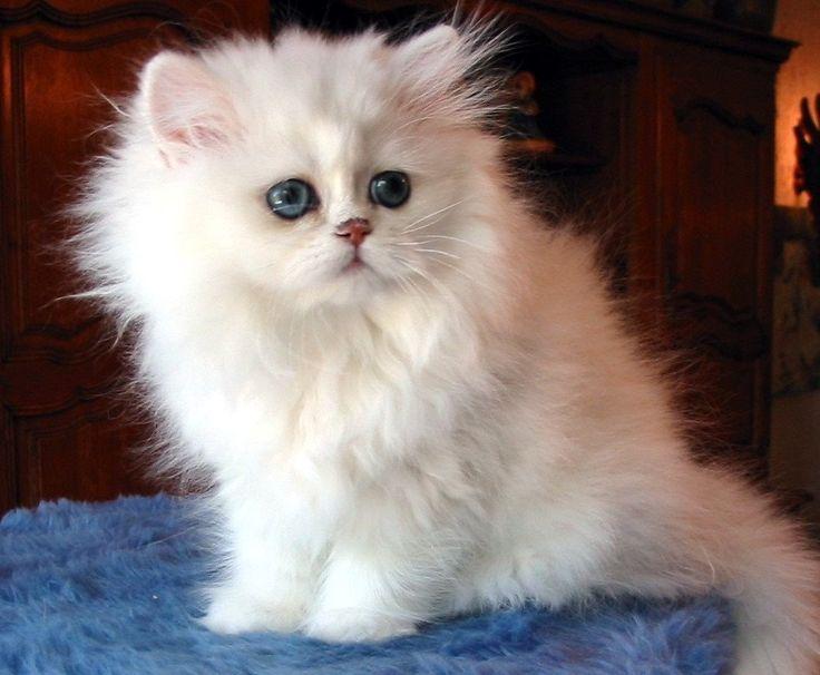 Ms de 25 ideas increbles sobre Gatos persas en Pinterest  Gato
