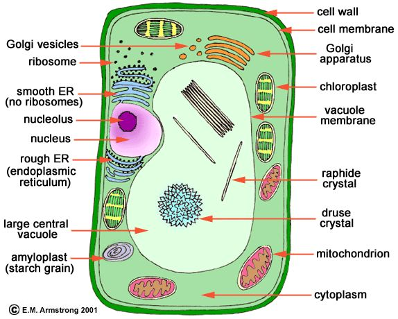 (W3/4) Links to several plant and animal cell activities -- play doh or karo syrup models, drawing cells, etc