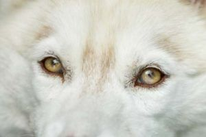 New Study On Why Siberian Husky Puppy S Eye Color May Change Dogs