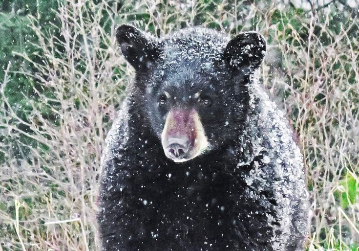 Pin by Eugene Eddy on Animals of all kinds Black bear
