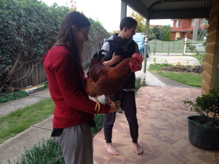 Lola (the rooster) and Houdini