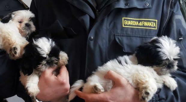Evasione fiscale e traffico illecito di cuccioli di cane, sequestro da 9 milioni di euro a cura di Redazione - http://www.vivicasagiove.it/notizie/evasione-fiscale-e-traffico-illecito-di-cuccioli-di-cane-sequestro-da-9-milioni-di-euro/