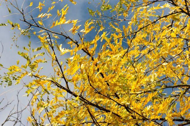 One of the most effective golden trees - honey locust (Gleditsia triacanthos 'Sunburst')