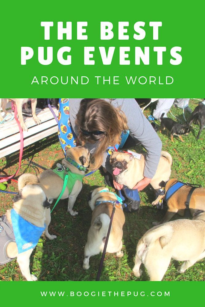 Pug Events Around The World Dog Breeds That Dont Shed Dog Mom Humor Pugs