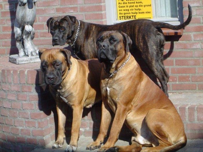 Boerboel Mastiff Dog Breeds Large Dog Breeds Giant Dog Breeds
