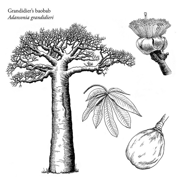 Adansonia grandidieri by Louise Jasper by Louise Jasper, via Flickr