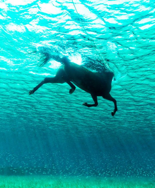 Seahorse, Photo By Kurt Arrigo - Horses can swim, but they are not really built for it.  Their stick-like legs just don't push well against water.  But, it is a very interesting picture, nonetheless.