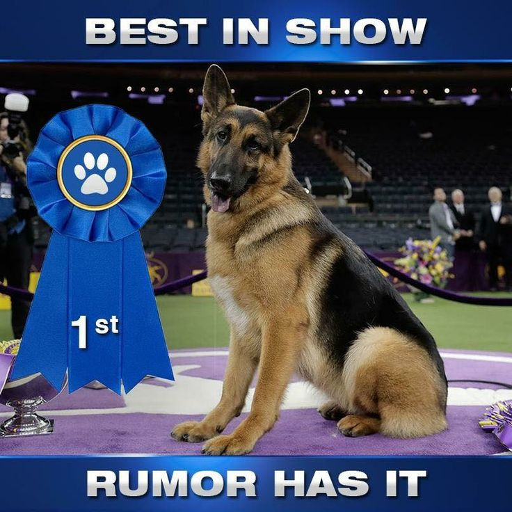The German Shepherd. I've waited a long time to see a GSD take the top prize at Westminster. Best dogs ever.