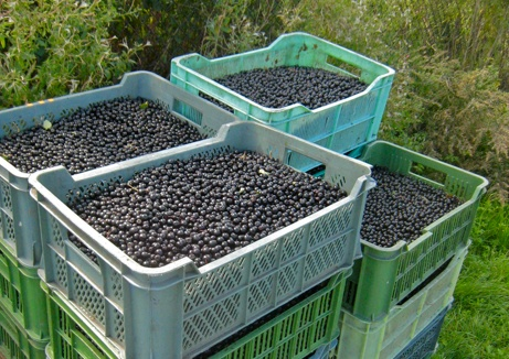 People in WI that sell Aronia berry plants.