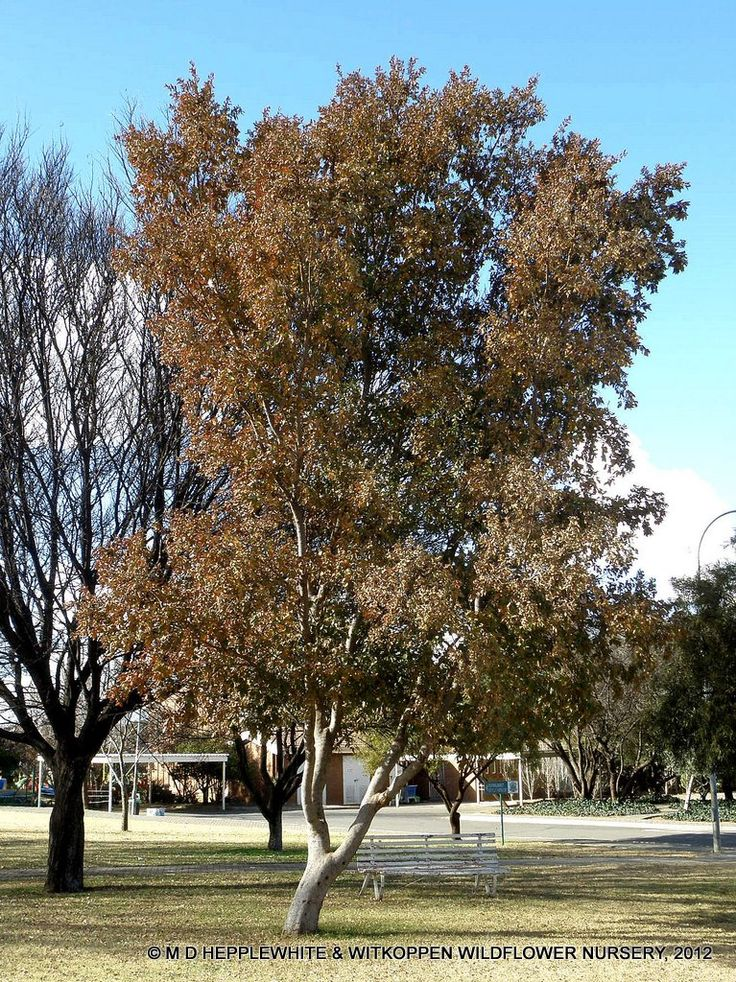 Combretum erythrophyllum, or River bushwillow, is a medium-sized fast-growing tree that produces creamy-coloured flowers. Typically found in northeastern parts of south africa. Has many different cultural uses, and attracts animals and insects.