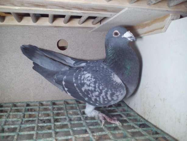 gołębie pocztowe Jansen i De Klak i schellens Ręczno - image 8