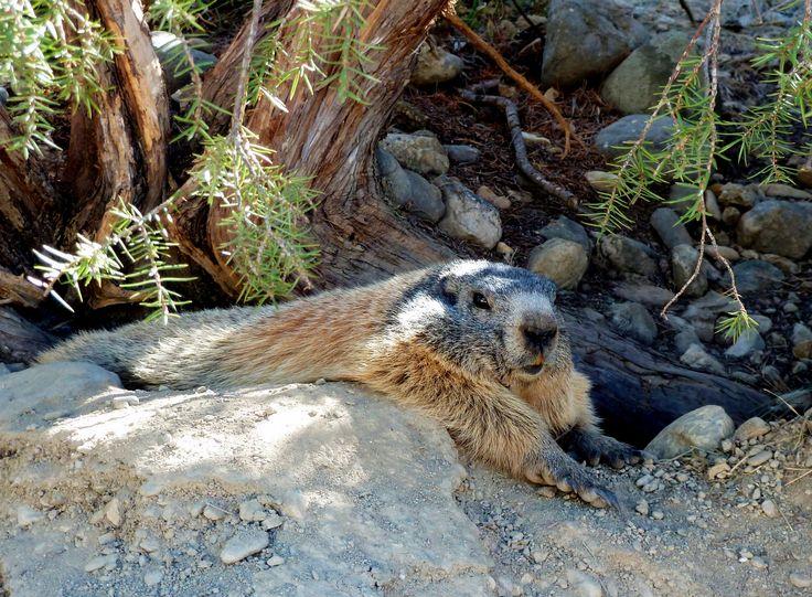 #marmotte au soleil