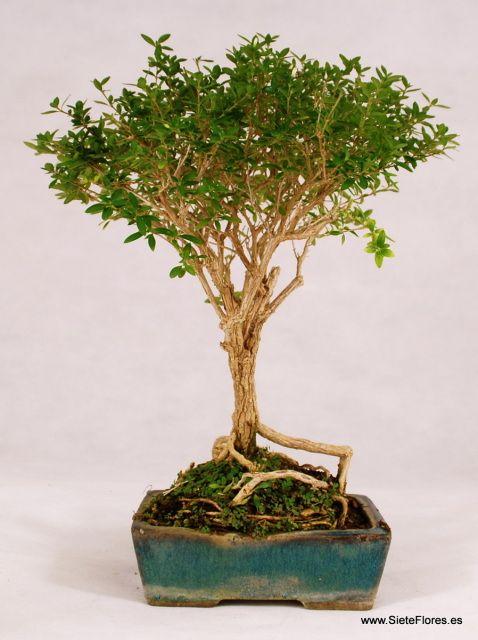 Bonsái Serissa. Venta Online de bonsáis en Zaragoza. Compra tus bonsáis por Internet en Zaragoza