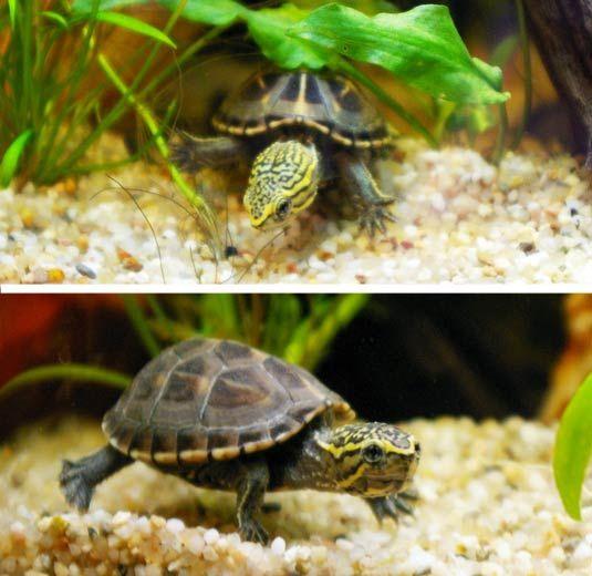 baurii (striped mud turtle) - okay, not a fish, but an aquarium ...